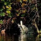 Grey Heron, with pike